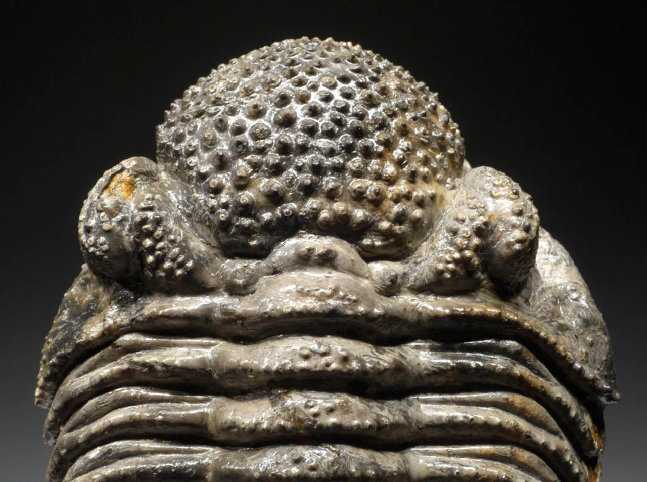 TR10-028 - AMAZING RARE COLORED MOTTLED CREAM FLOATING DROTOPS TRILOBITE WITH VISIBLE MOUTH