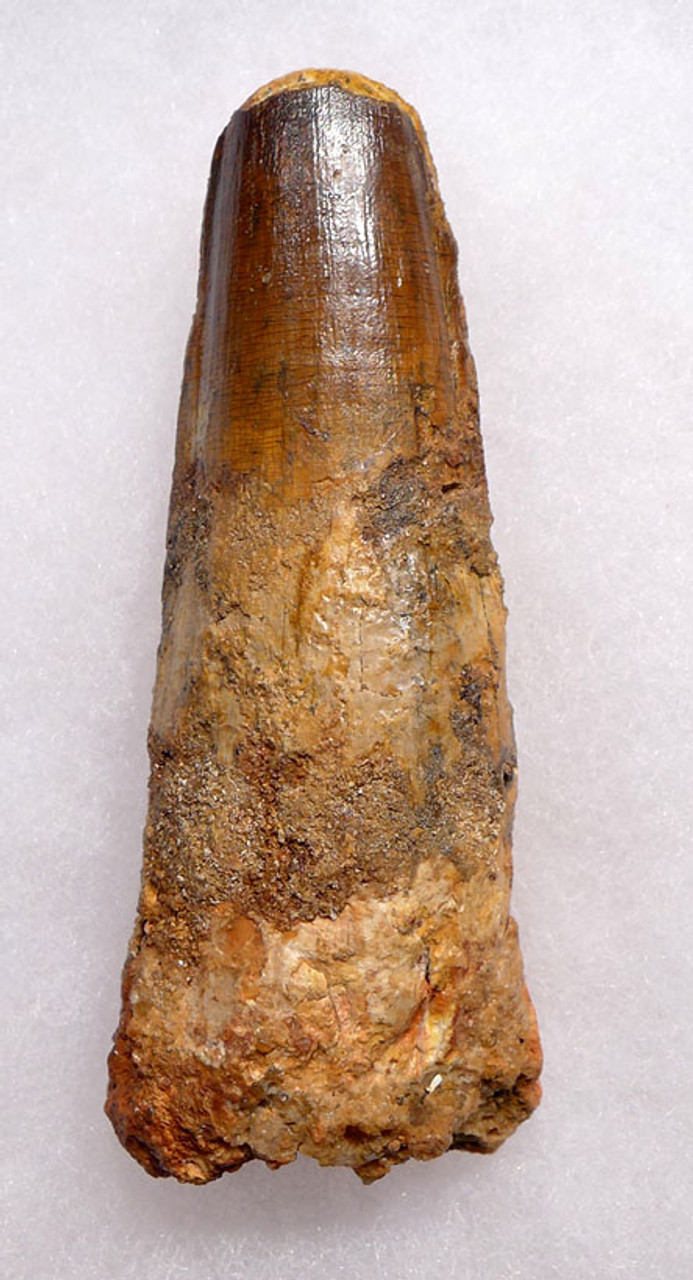 FORMERLY 5 INCH SPINOSAURUS DINOSAUR TOOTH WITH HEAVY FEEDING WEAR *DT5-286