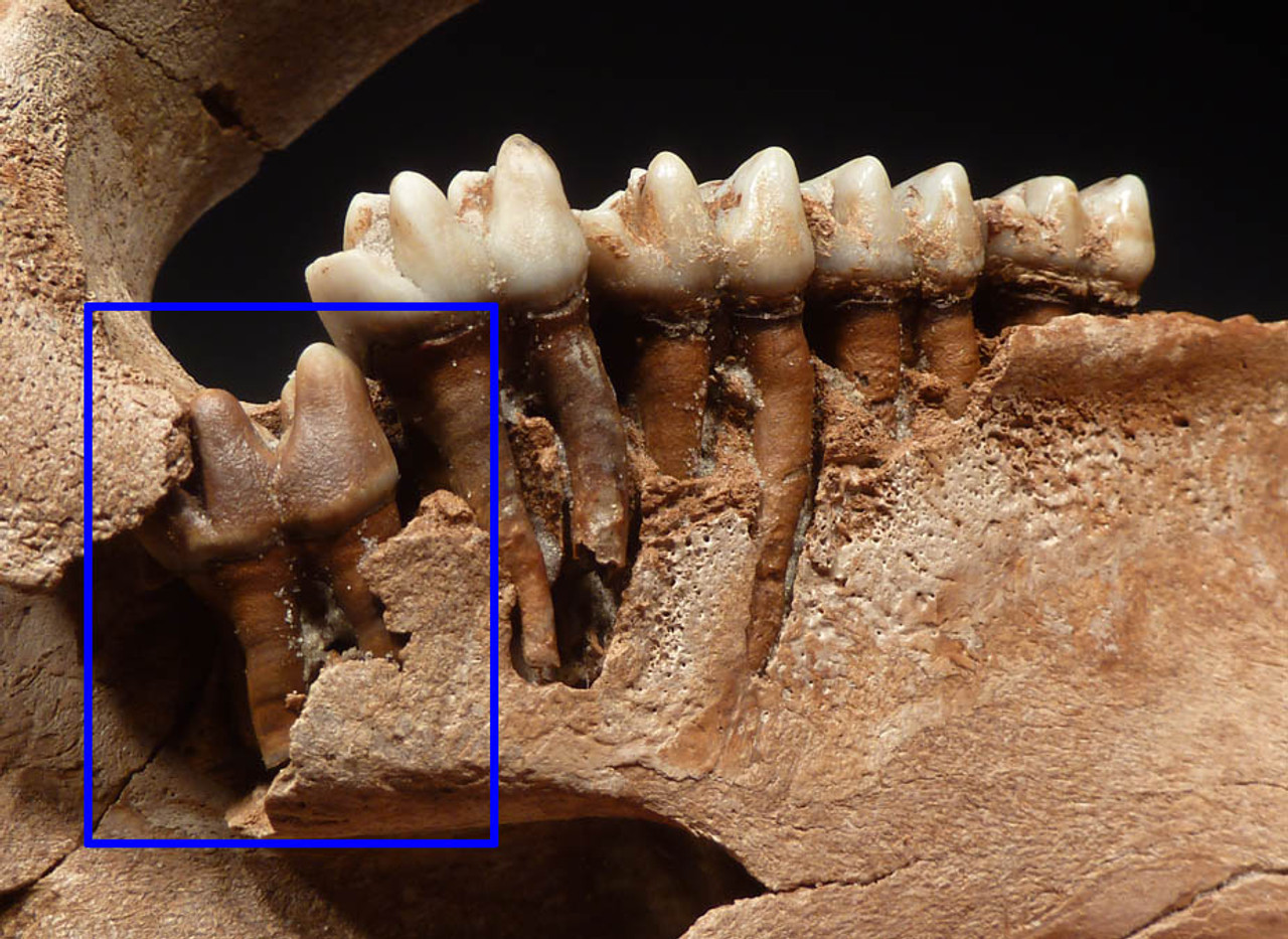 Emerging tooth in the rear is a perfect educational display showing how these mammals grew their new, incoming teeth.