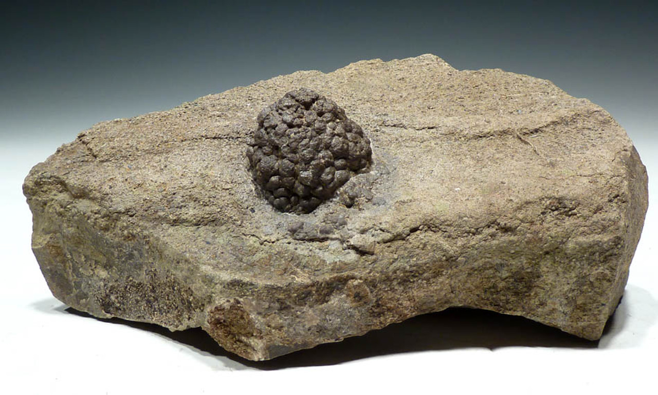 LIFE-LIFE PERMIAN FOSSIL CYANOBACTERIA NOSTOC BALL COLONY ON HOST ROCK *ST002