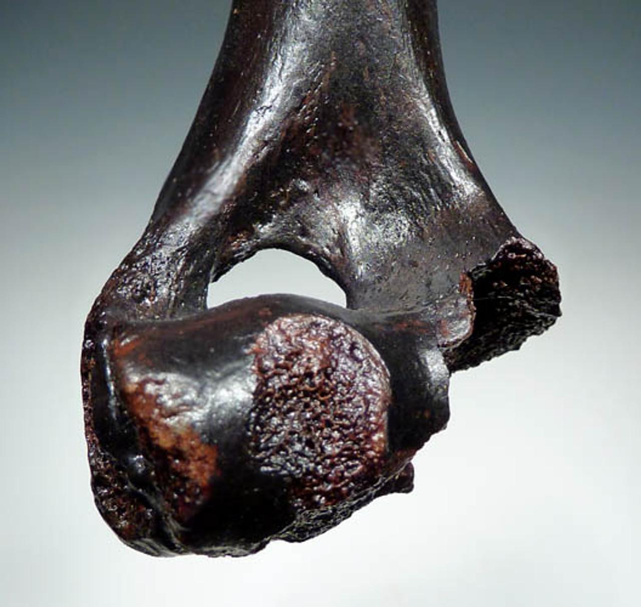 EUROPEAN CAVE HYENA HUMERUS BONE WITH LARGE PREDATOR BITE MARKS *LMX041