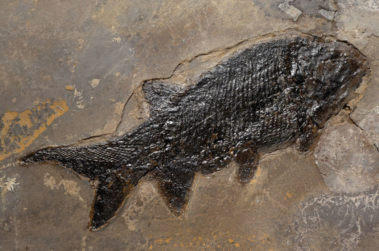 PARAMBLYPTERUS PERMIAN EARLY FISH FOSSIL WITH CHOICE PRESERVATION  *F146