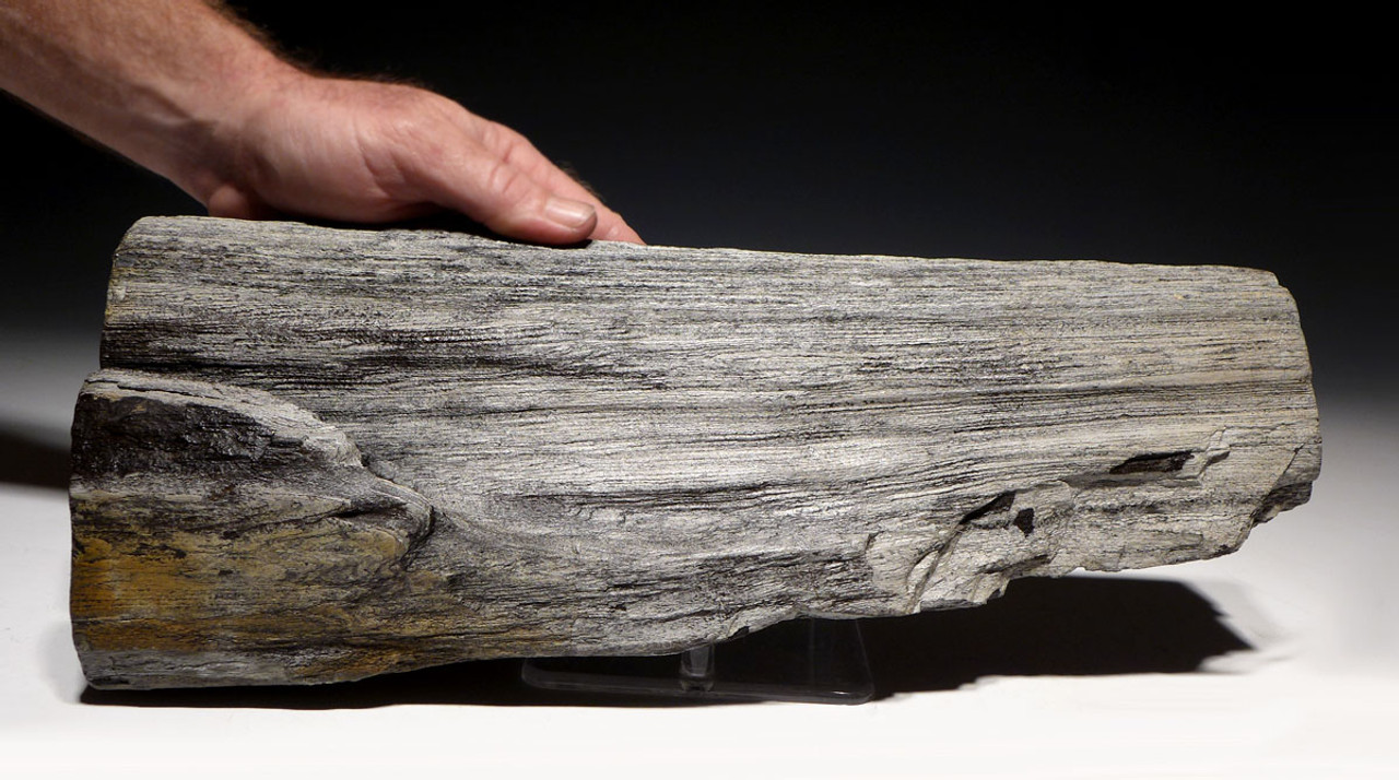 COLORFUL LARGE MIOCENE PETRIFIED WOOD LOG FROM EUROPE *PMW003