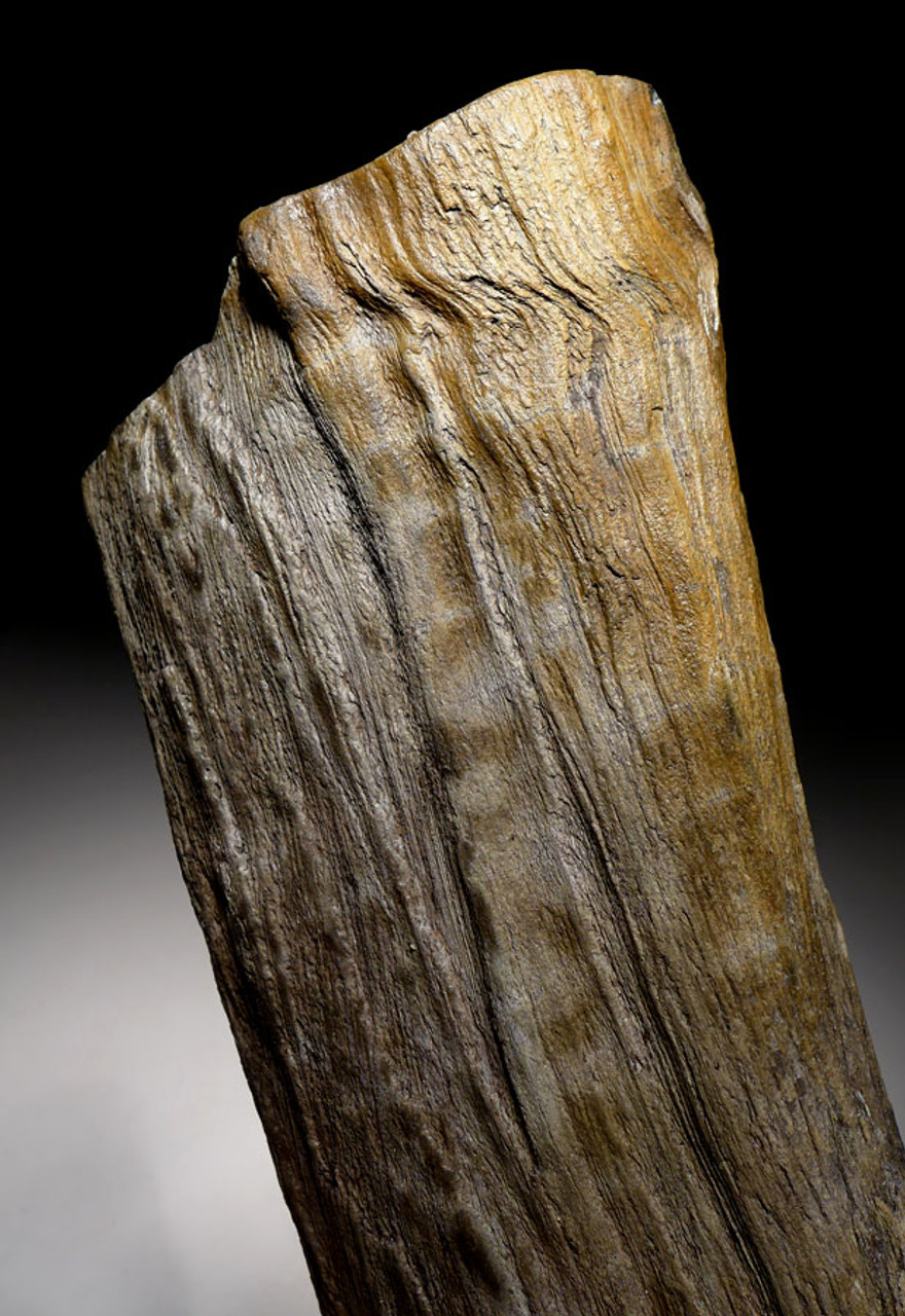 INCREDIBLE FOSSIL MIOCENE PETRIFIED LOG FROM EUROPE WITH DETAIL *PMW002