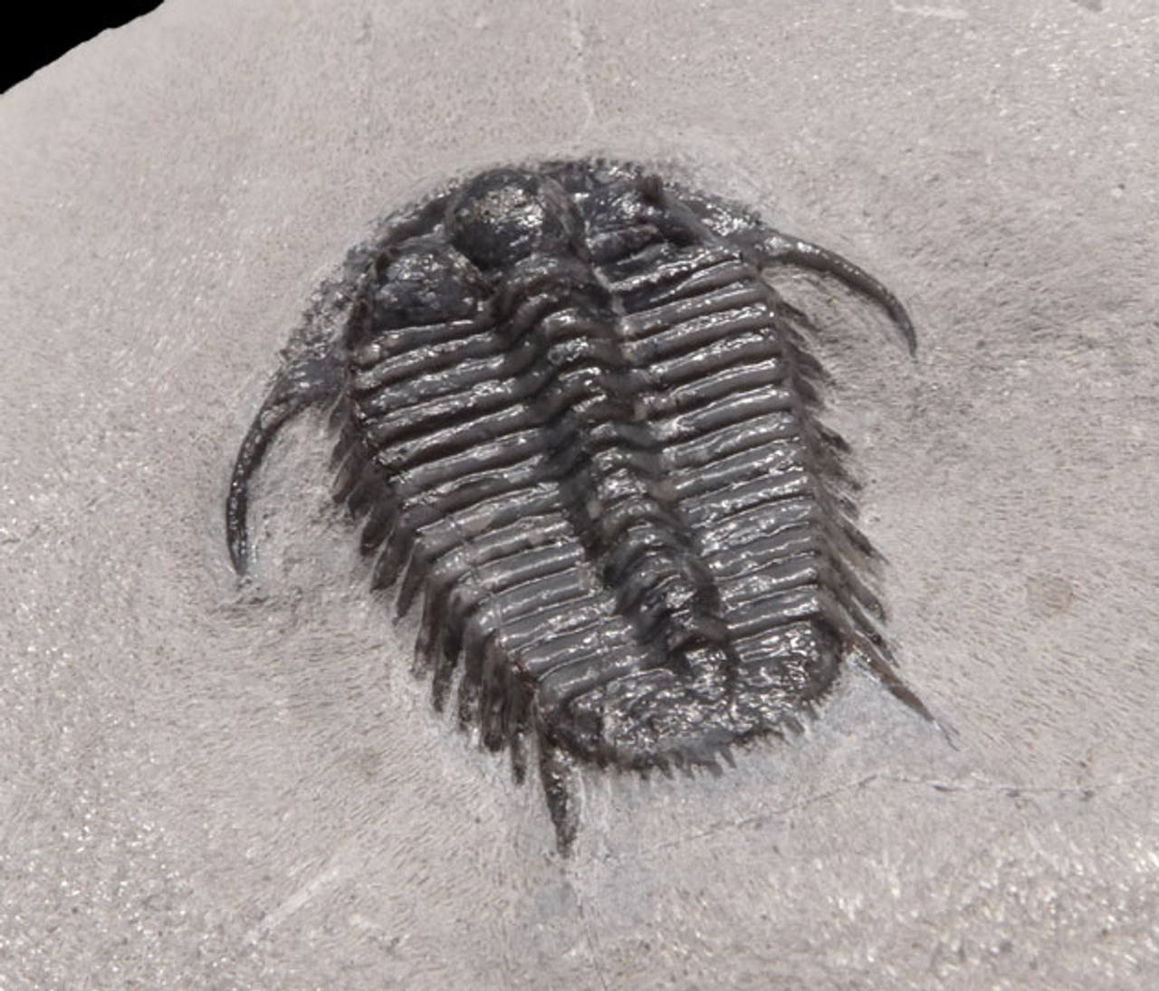 RARE CYPHASPIDES TRILOBITE WITH SUPERB PRESERVATION *TRX281