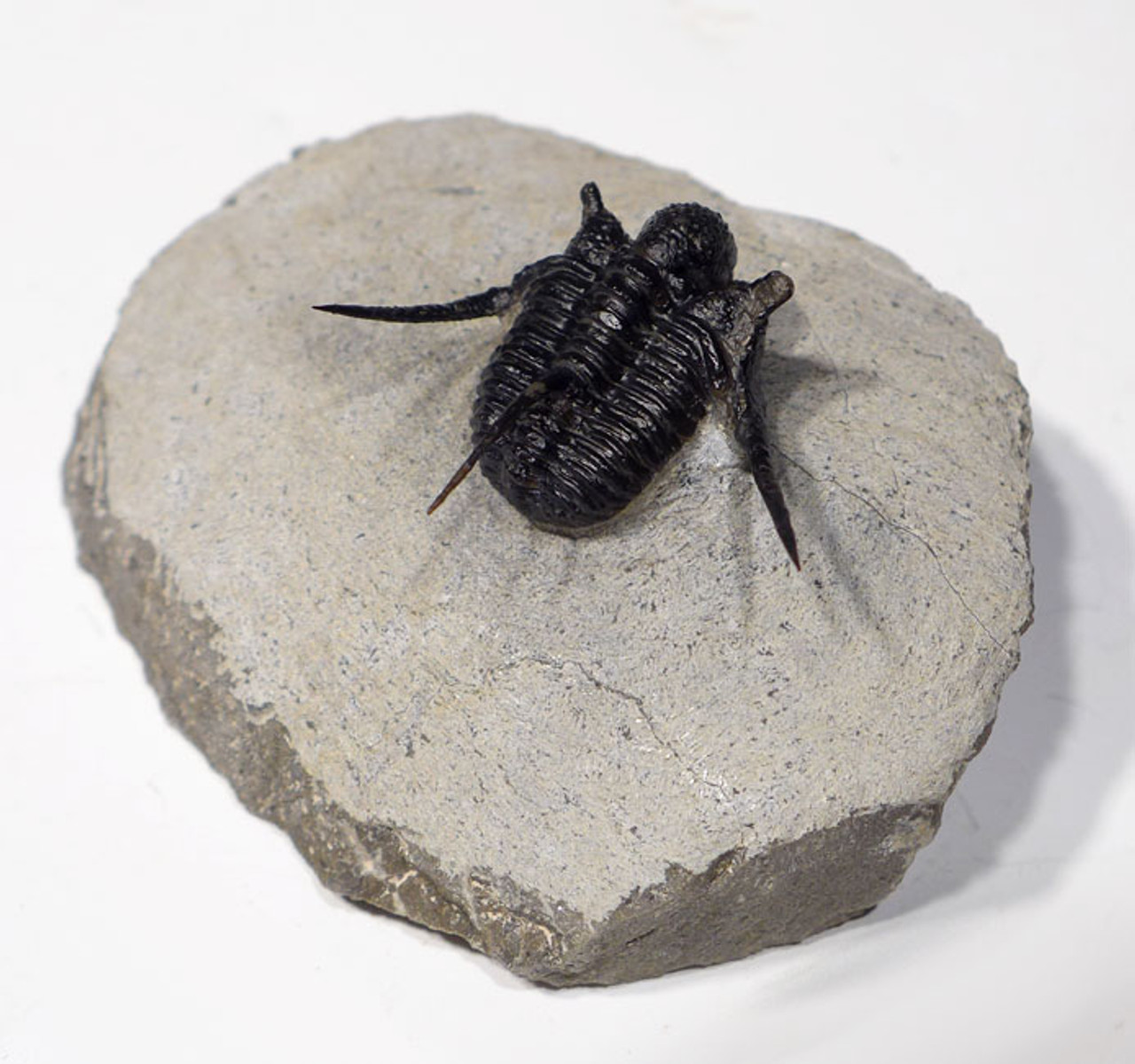 SPINY CYPHASPIS TRILOBITE WITH EXPOSED SPINES *TRX354