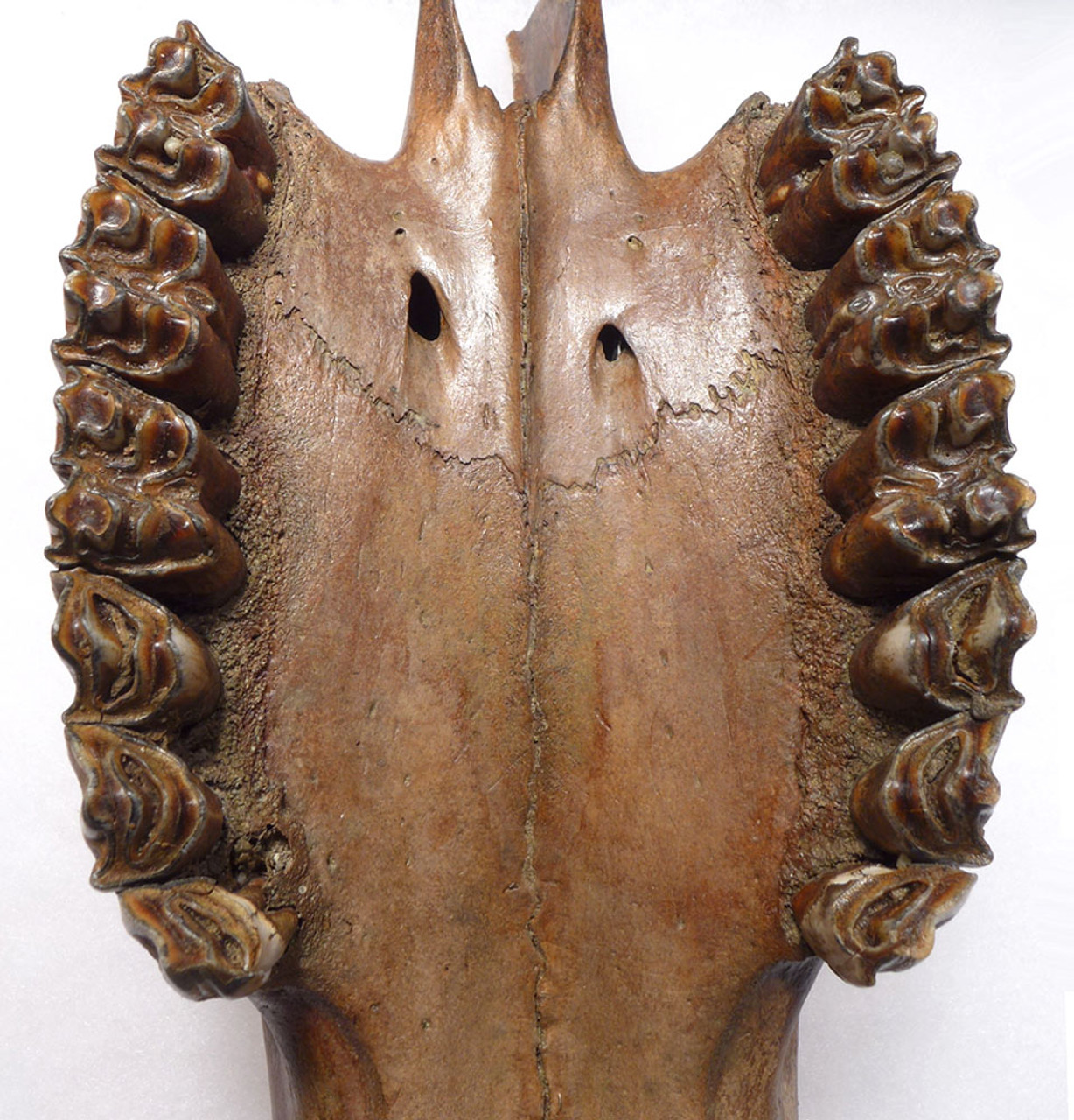 FOSSIL PARTIAL AUROCHS SKULL WITH COMPLETE PRE-MAXILLA AND MAXILLA AND FULL ARRAY OF TEETH *LMX213