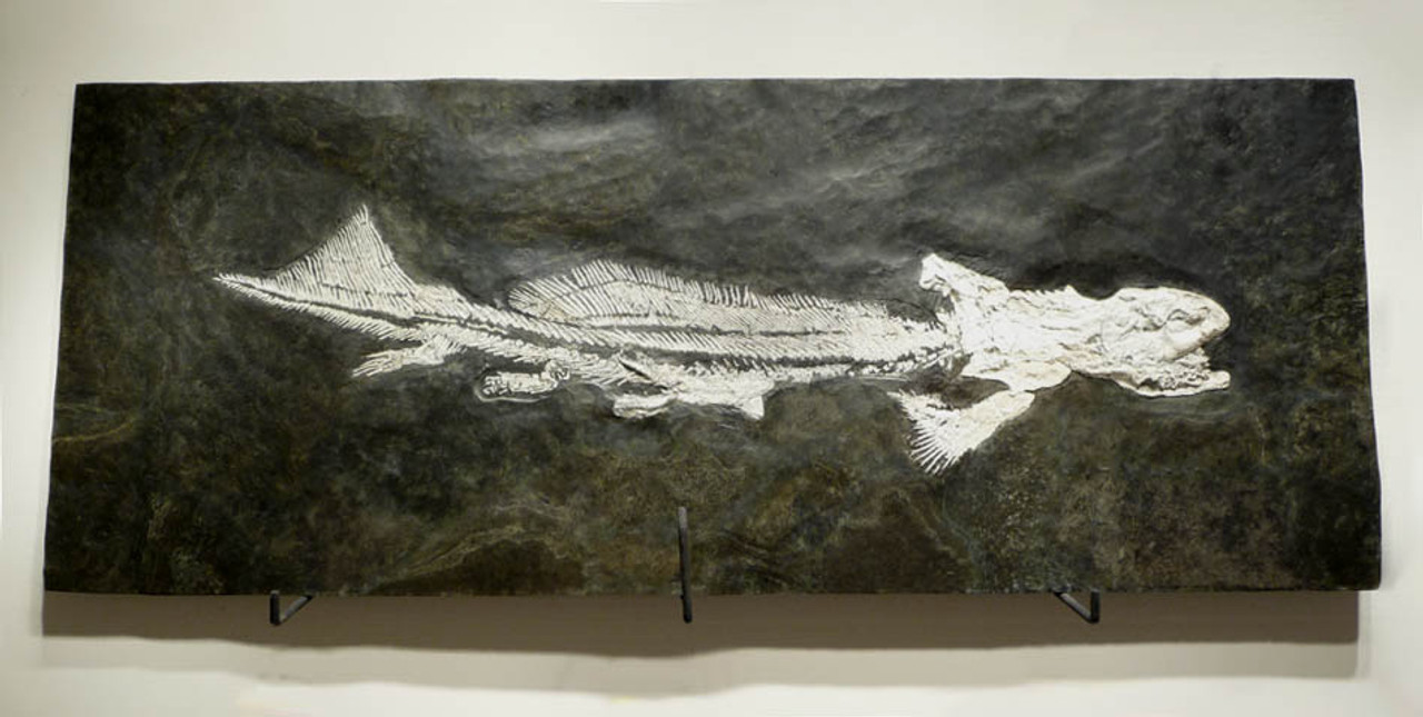 GIANT WHITE ORTHACANTHUS FOSSIL SHARK WITH EXPOSED TEETH FROM THE PERMIAN *F075
