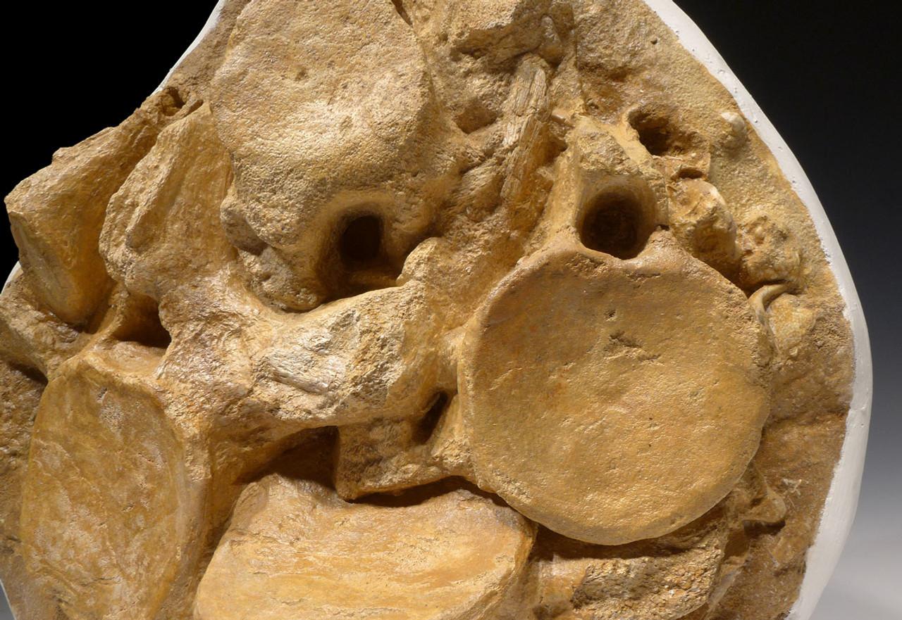 FOSSIL PLIOSAUR VERTEBRAE FROM A HUGE ELASMOSAUR MARINE REPTILE *PLIOS001