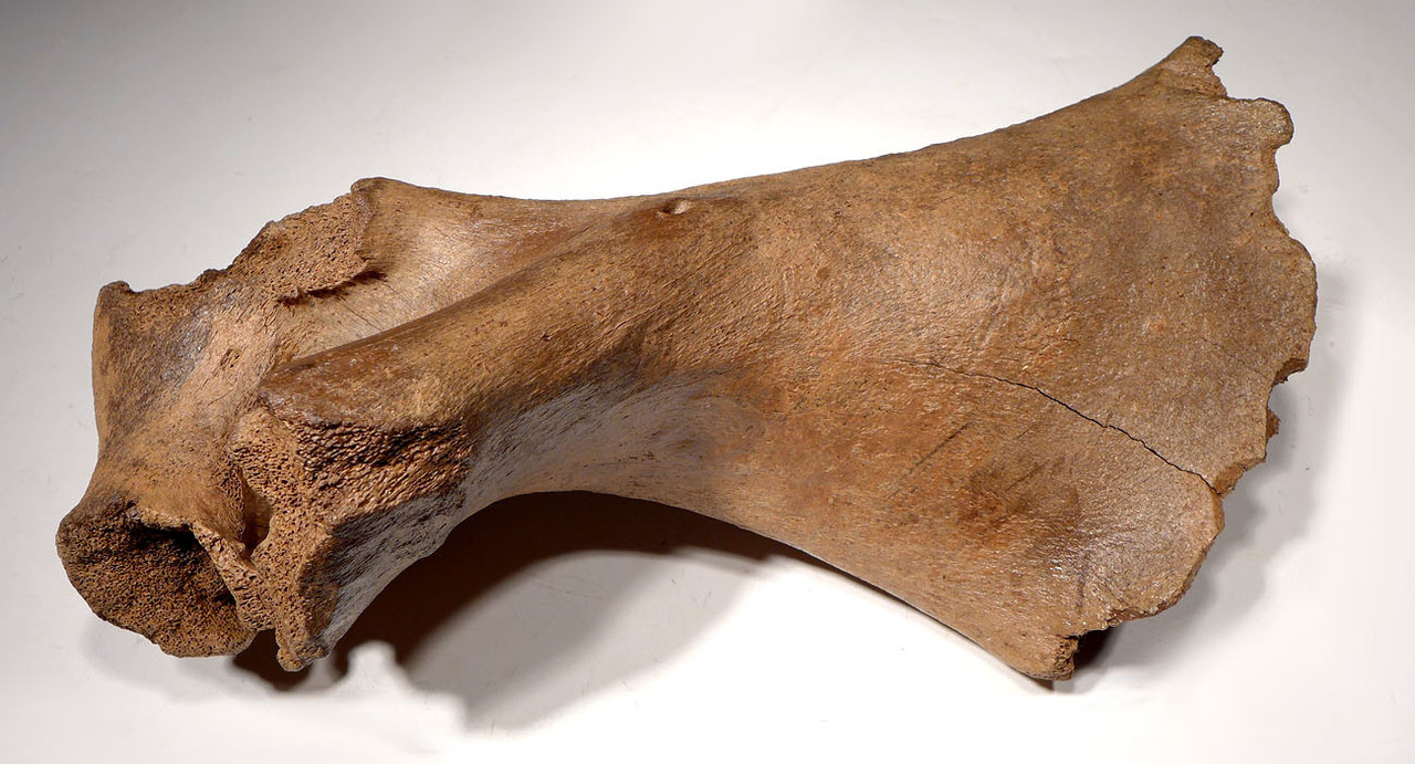 SEVERE CAVE HYENA PREDATION BITES ON AN EATEN FOSSIL WOOLLY RHINOCEROS HUMERUS BONE *LMX170