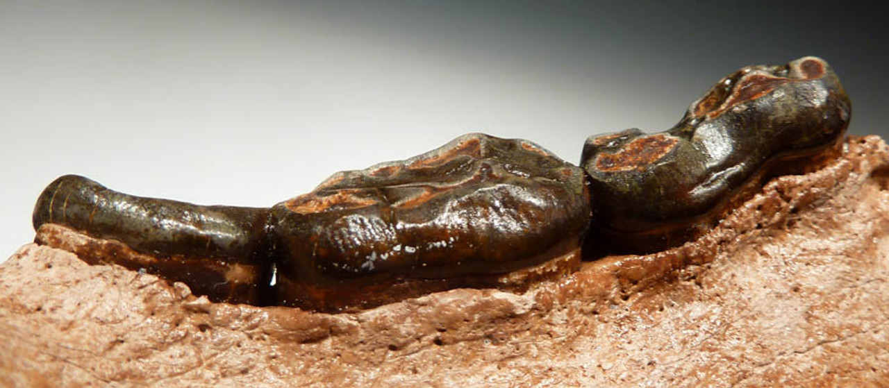 RARE FOSSIL JAW OF THE BLACK BEAR URSUS AMERICANUS *LMX065