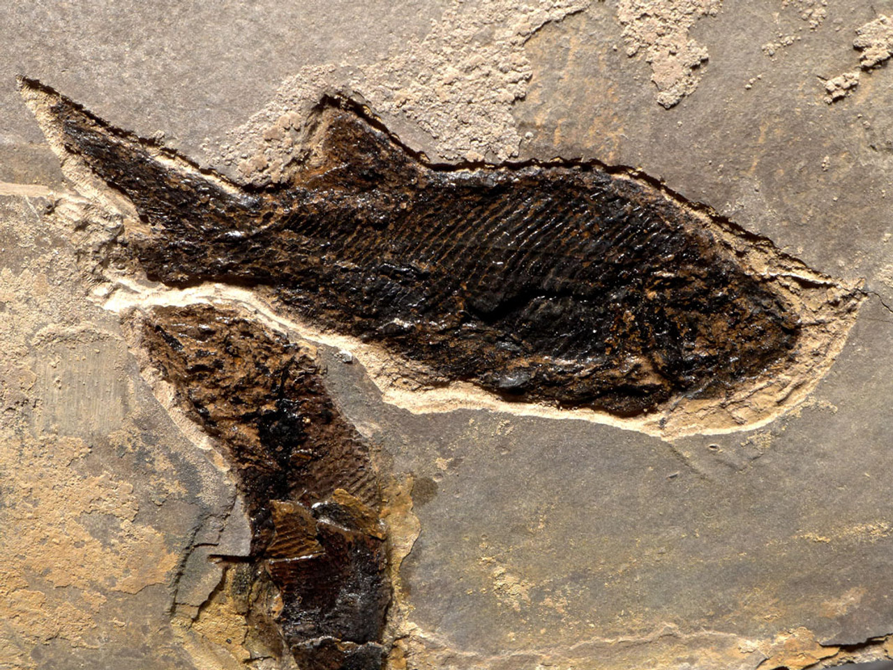 MULTIPLE PARAMBLYPTERUS PERMIAN FISH FOSSIL FROM BEFORE THE DINOSAURS *F145