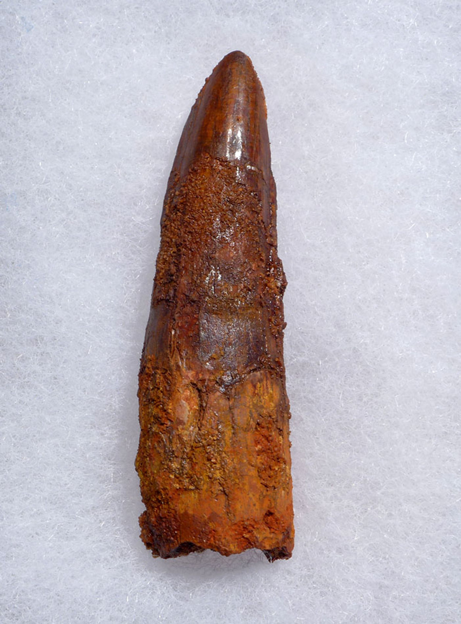 2.5 INCH SPINOSAURUS DINOSAUR FOSSIL TOOTH WITH RICH RED COLOR *DT5-465