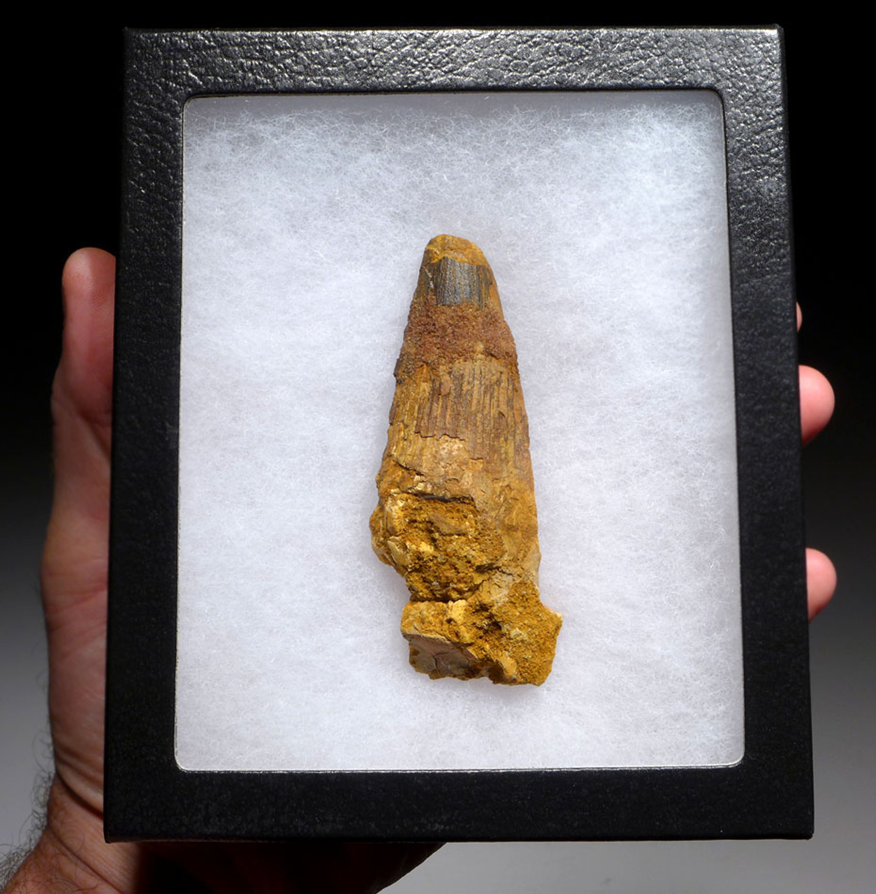 UGLY WHOPPER 3.5 INCH SPINOSAURUS DINOSAUR FOSSIL TOOTH *DT5-462
