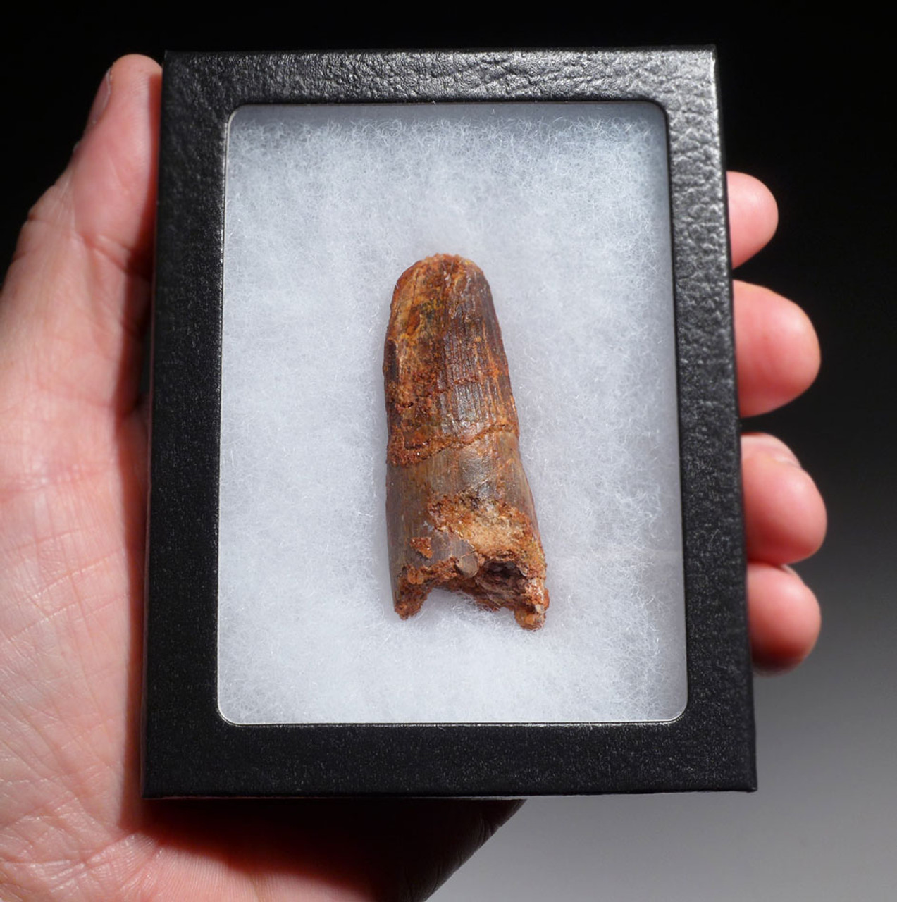 2.2 INCH FOSSIL DINOSAUR TOOTH WITH FEEDING WEAR FROM A LARGE SPINOSAURUS *DT5-450