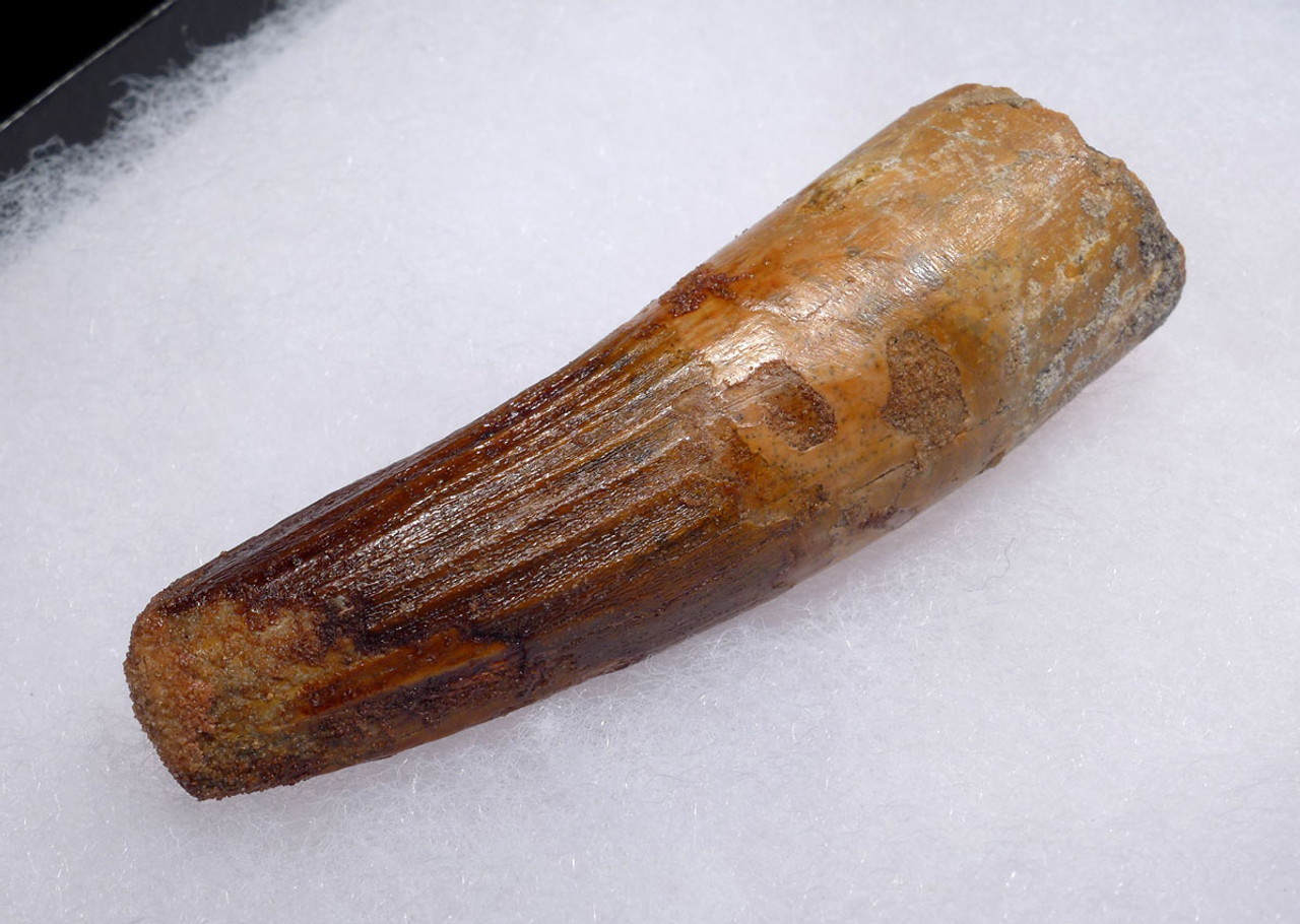 NICE UNBROKEN 2.9 INCH FOSSIL SPINOSAURUS TOOTH FROM A LARGE DINOSAUR *DT5-458
