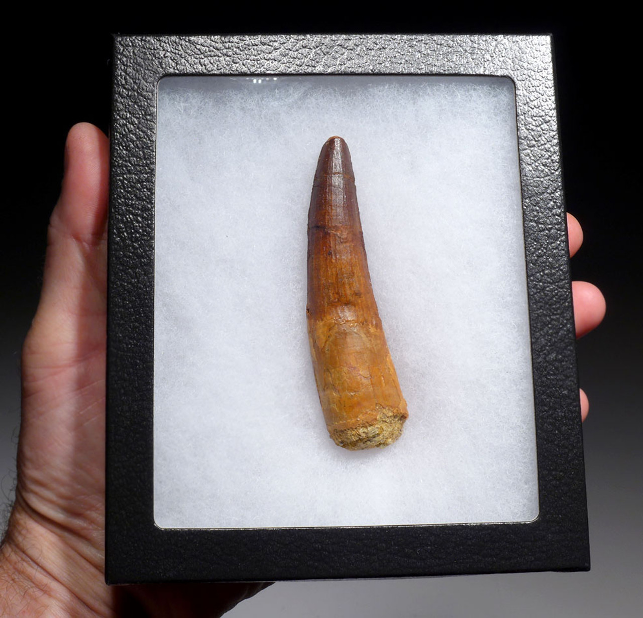 STUNNING LARGE 3.7 INCH SPINOSAURUS DINOSAUR FOSSIL TOOTH WITH BURNT PUMPKIN ORANGE ENAMEL *DT5-461