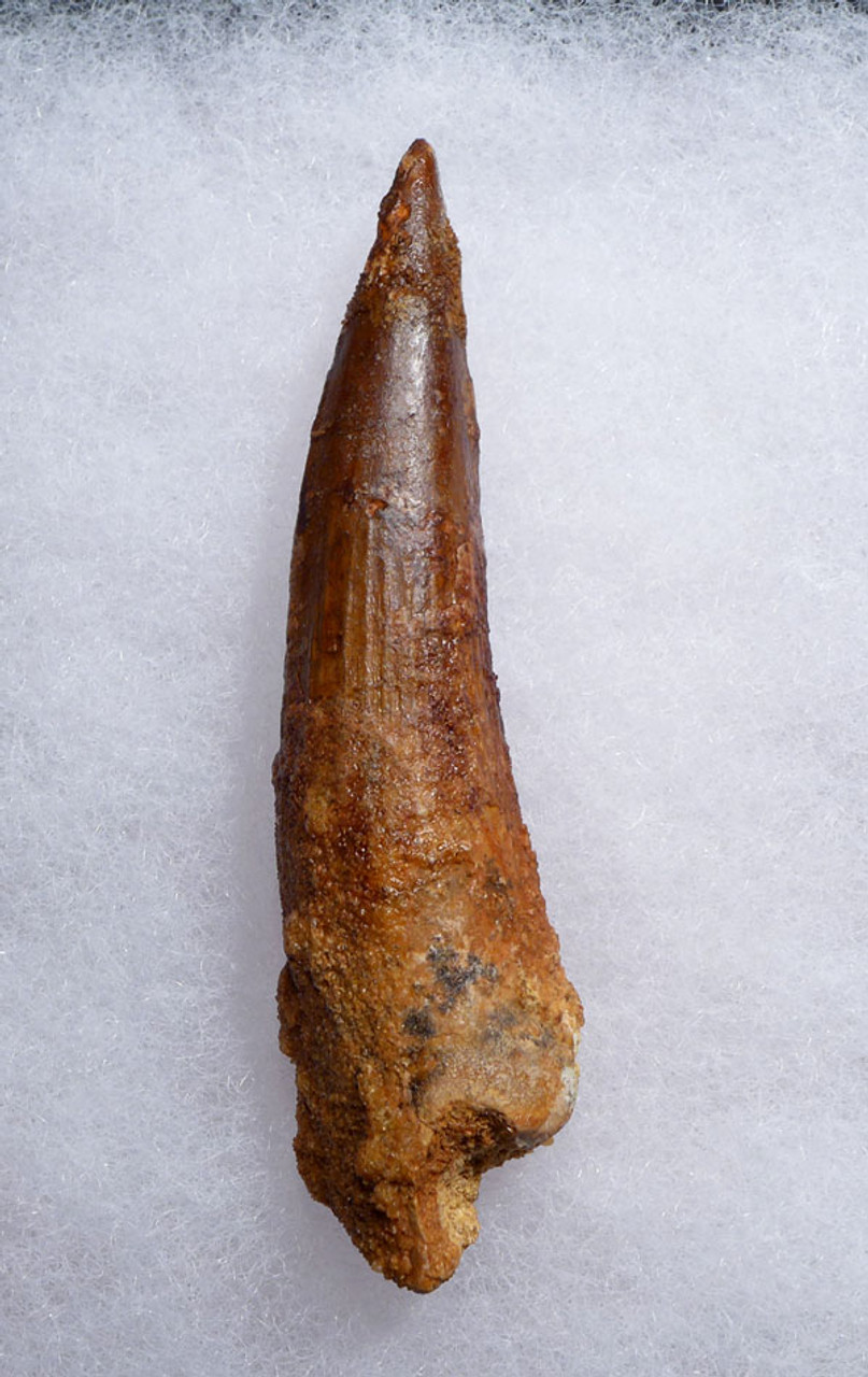 SHARP TIPPED 2.75 INCH SPINOSAURUS DINOSAUR FOSSIL TOOTH *DT5-446