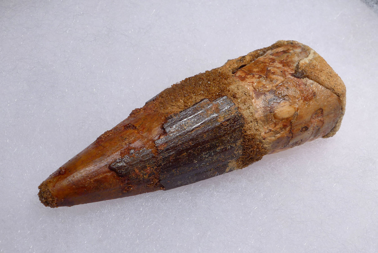 SHARP TIPPED FAT LARGE 3 INCH SPINOSAURUS DINOSAUR FOSSIL TOOTH *DT5-455