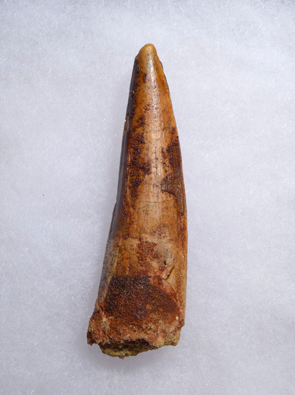 BEAUTIFUL SHARP TIPPED 3 INCH SPINOSAURUS DINOSAUR FOSSIL TOOTH *DT5-452