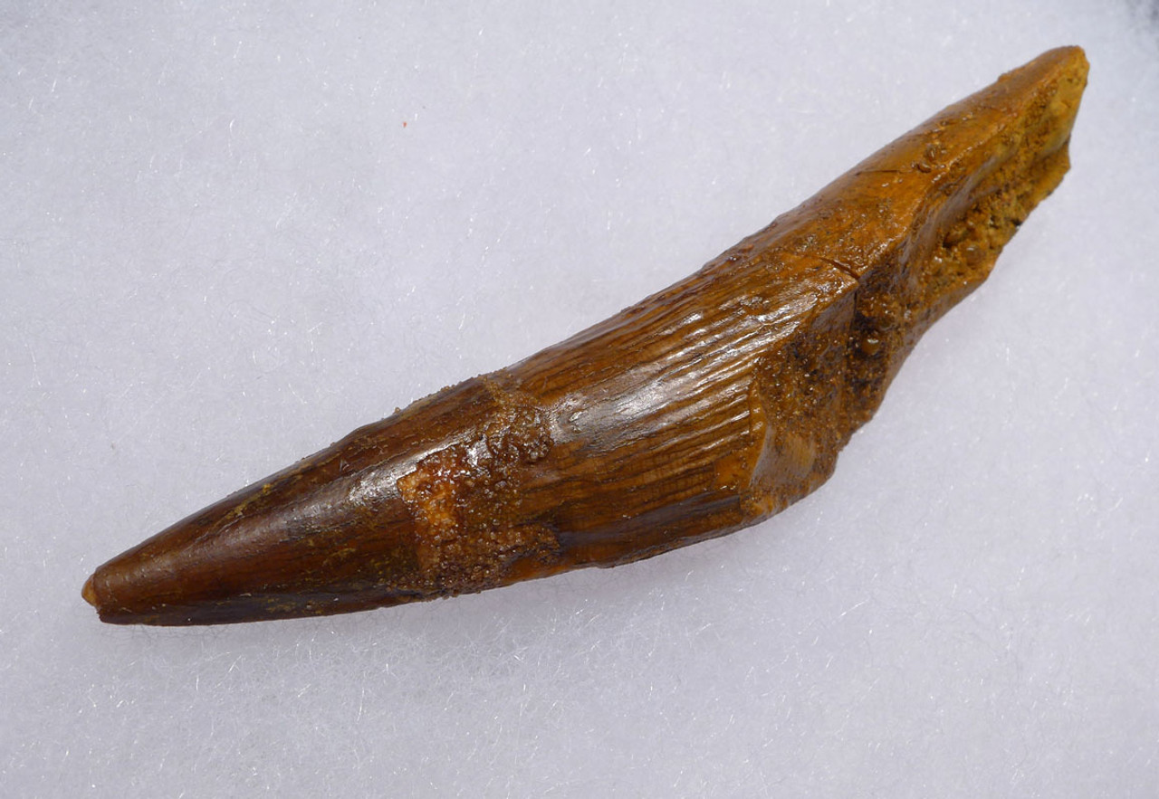 SHARP TIPPED 3 INCH SPINOSAURUS DINOSAUR FOSSIL TOOTH *DT5-457