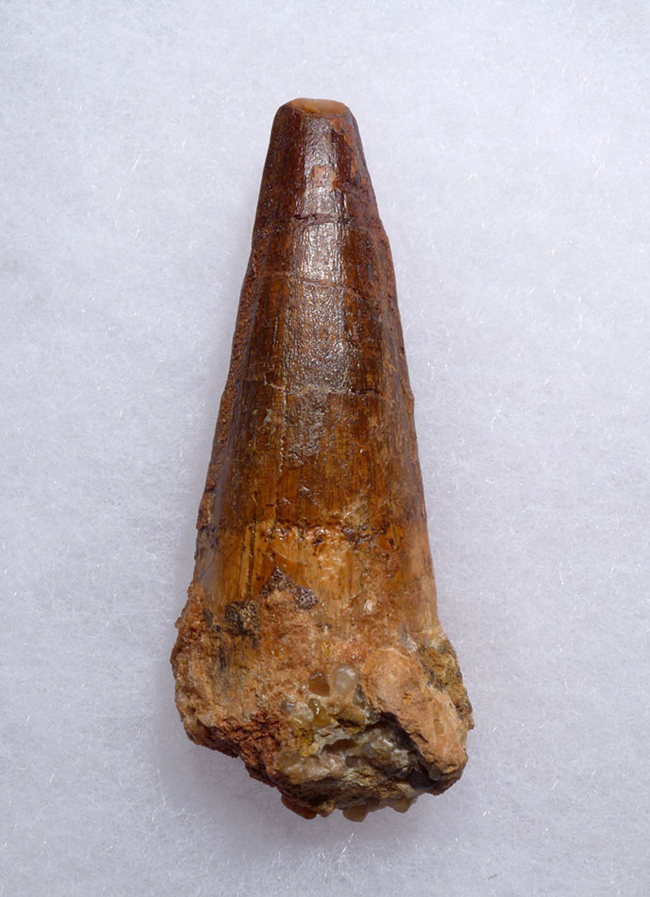FINE QUALITY 2.5 INCH SPINOSAURUS FOSSIL DINOSAUR TOOTH *DT5-453
