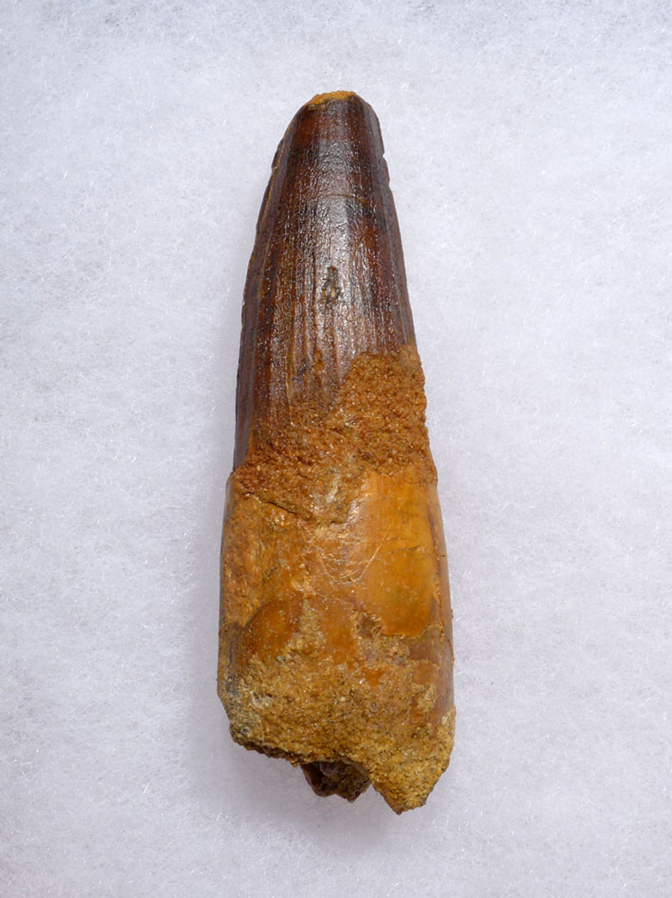 IMPRESSIVE LARGE 3.25 INCH SPINOSAURUS DINOSAUR FOSSIL TOOTH *DT5-456