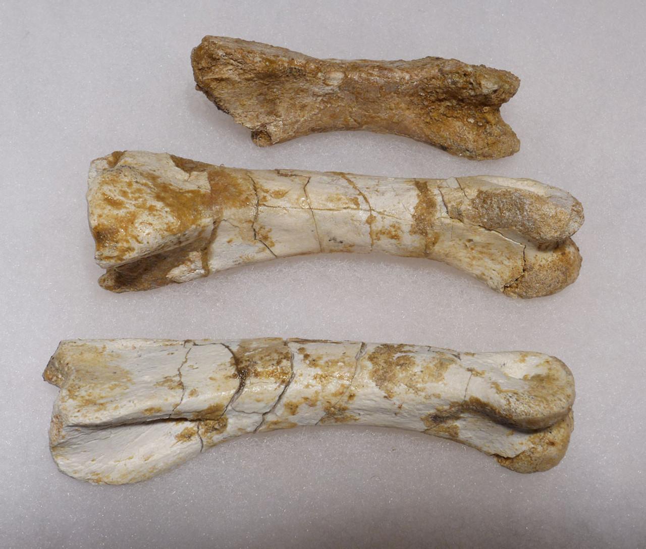 SPINOSAURUS DINOSAUR FOSSIL HAND SET OF 3 PHALANX BONES *SPINOHAND1