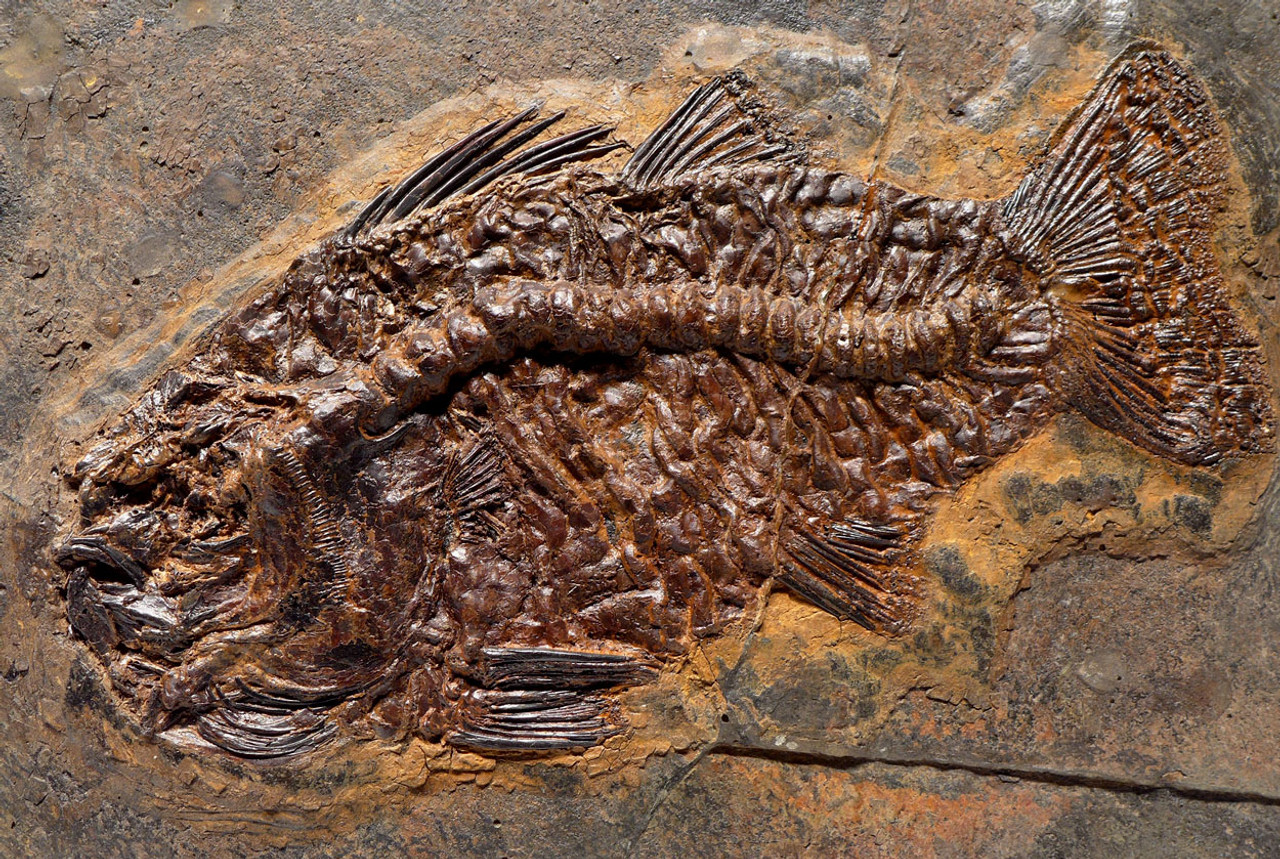 FINEST MUSEUM GRADE AMPHIPERCA PERCH FOSSIL FISH FROM THE FAMOUS MESSEL SITE *F125
