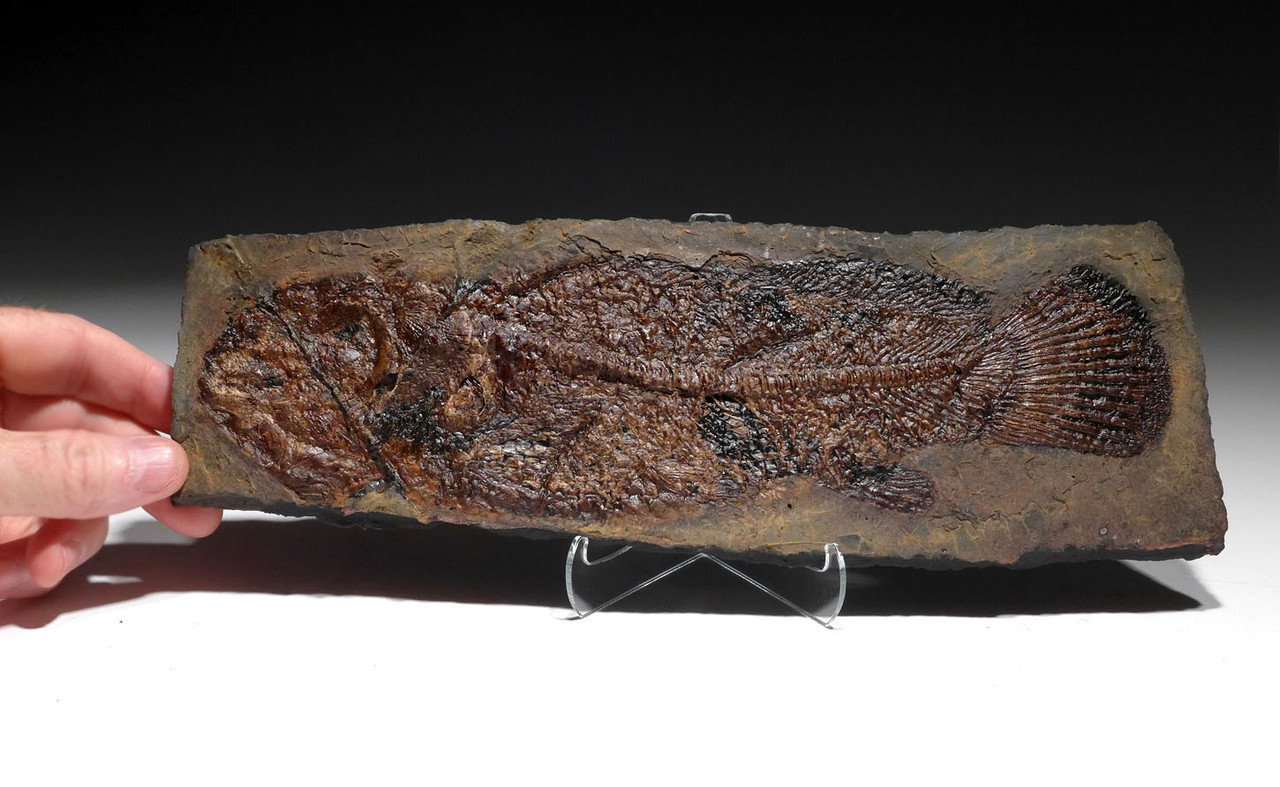 LARGE EXCEPTIONAL BOWFIN FISH FOSSIL OF CYCLURUS AMIA FROM THE FAMOUS MESSEL PIT *MF001