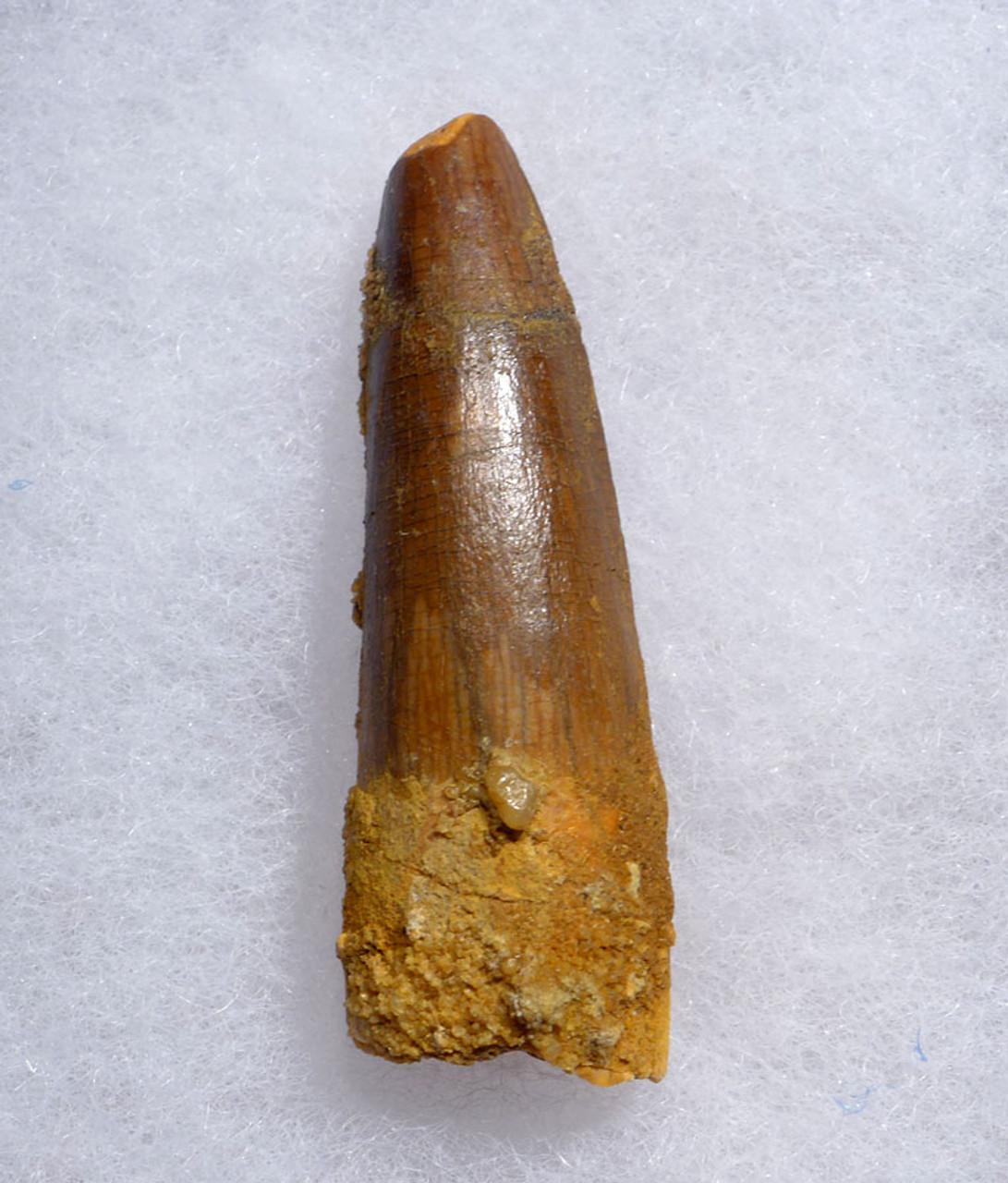 GOLD ORANGE 1.9 INCH SPINOSAURUS DINOSAUR FOSSIL TOOTH *DT5-469