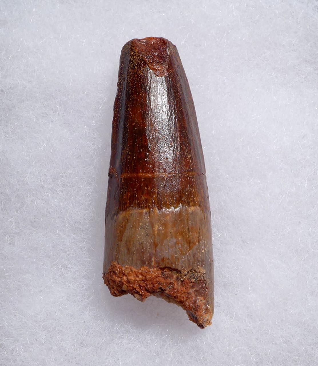 UNBROKEN 2 INCH SPINOSAURUS DINOSAUR FOSSIL TOOTH WITH BEAUTIFUL ENAMEL *DT5-467