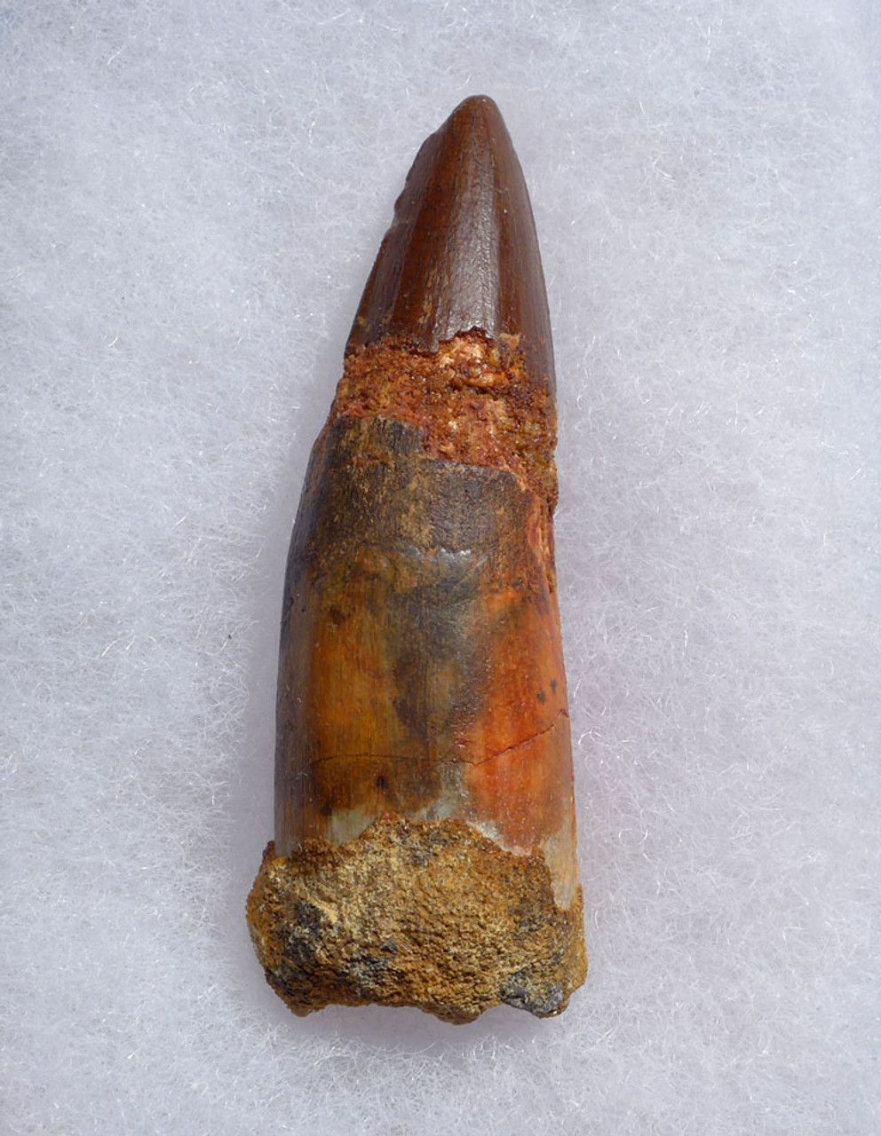 INEXPENSIVE ROBUST 2.5 INCH SPINOSAURUS DINOSAUR FOSSIL TOOTH *DT5-471