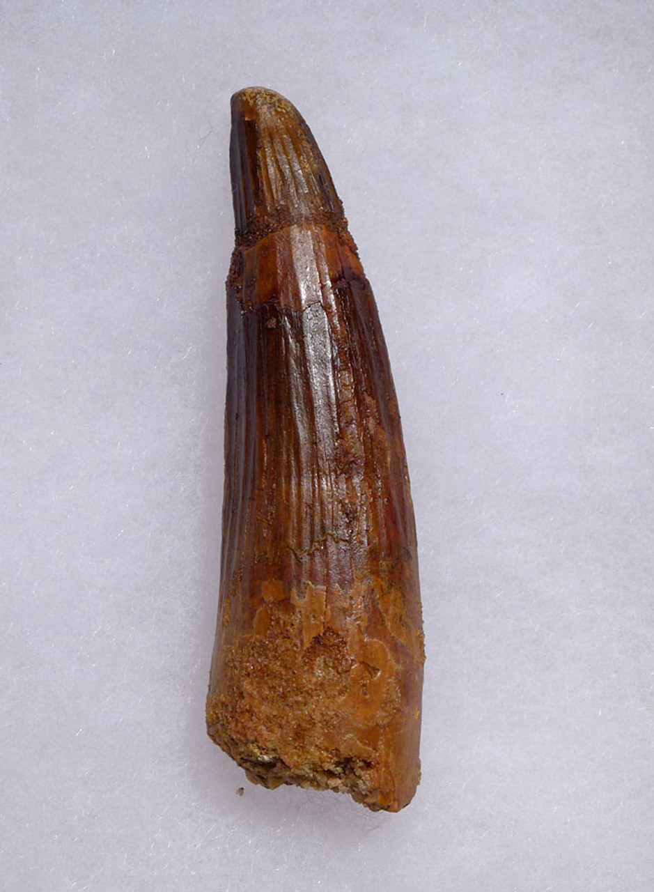NICE LARGE 3.4 INCH SPINOSAURUS DINOSAUR FOSSIL TOOTH FROM A MAXIMUM SIZE SPINOSAURUS *DT5-474
