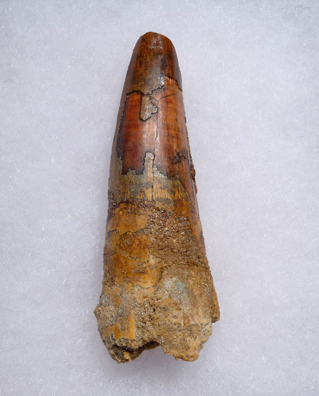 COLORFUL LARGE 3 INCH SPINOSAURUS DINOSAUR FOSSIL TOOTH FROM A MAXIMUM SIZE SPINOSAURUS *DT5-472
