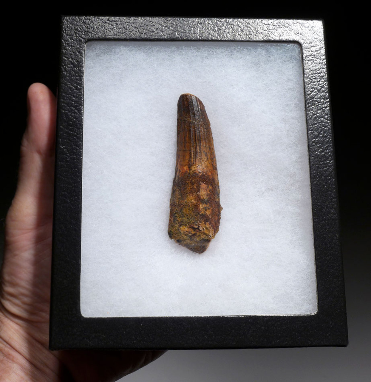 2.75 INCH FOSSIL DINOSAUR TOOTH FROM A LARGE SPINOSAURUS *DT5-475