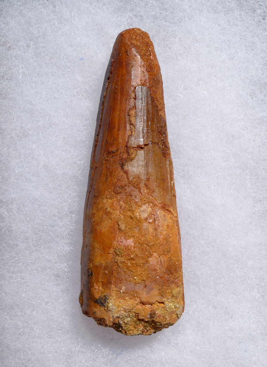 ROBUST 2.5 INCH DINOSAUR FOSSIL TOOTH FROM SPINOSAURUS *DT5-479
