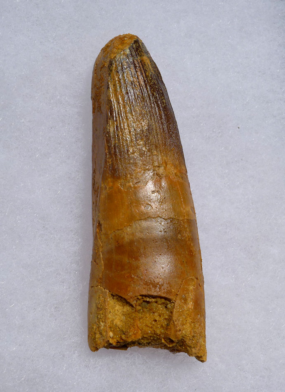 FINE QUALITY UNBROKEN 3 INCH SPINOSAURUS TOOTH FROM A LARGE DINOSAUR *DT5-477