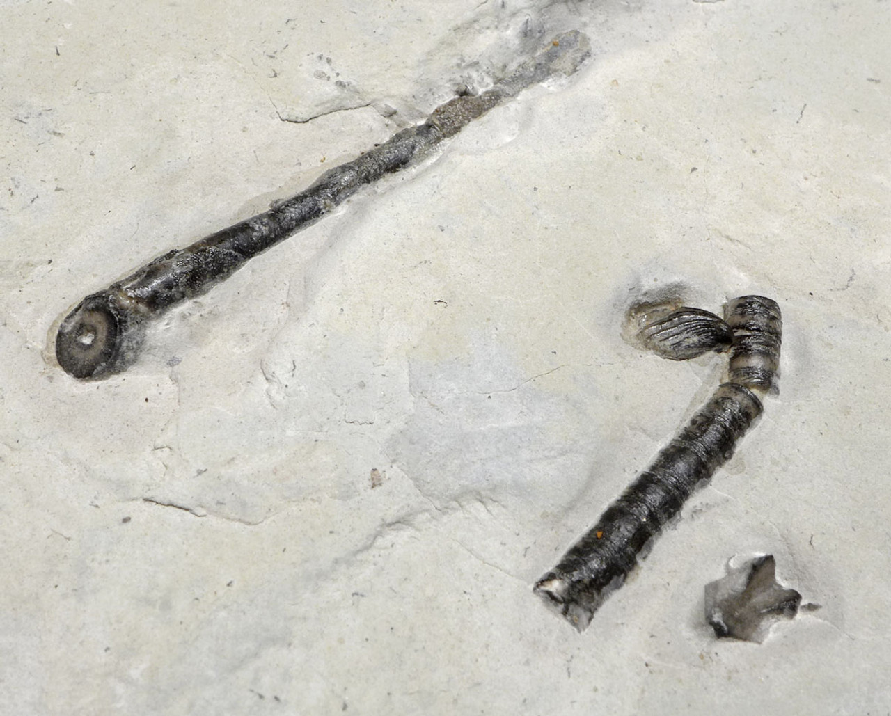 SILURIAN FOSSIL CRINOID HOLDFAST ROOT SYSTEM EUCALYPTOCRINITES FROM THE WALDRON SHALE *CRI044