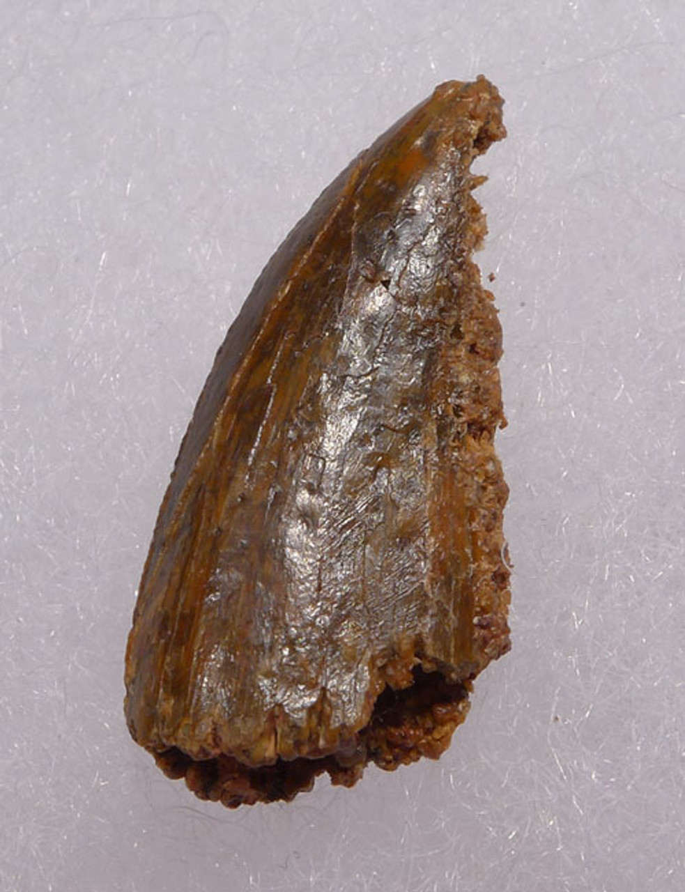 "LARGE INTACT DROMAEOSAUR "" RAPTOR "" TOOTH WITH FEEDING WEAR *DT6-263"