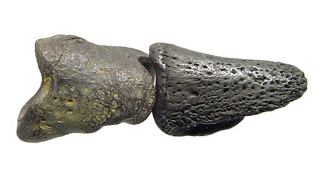 GIANT ARMADILLO FOSSIL TOE CLAW AND PHALANGE *LM5-015