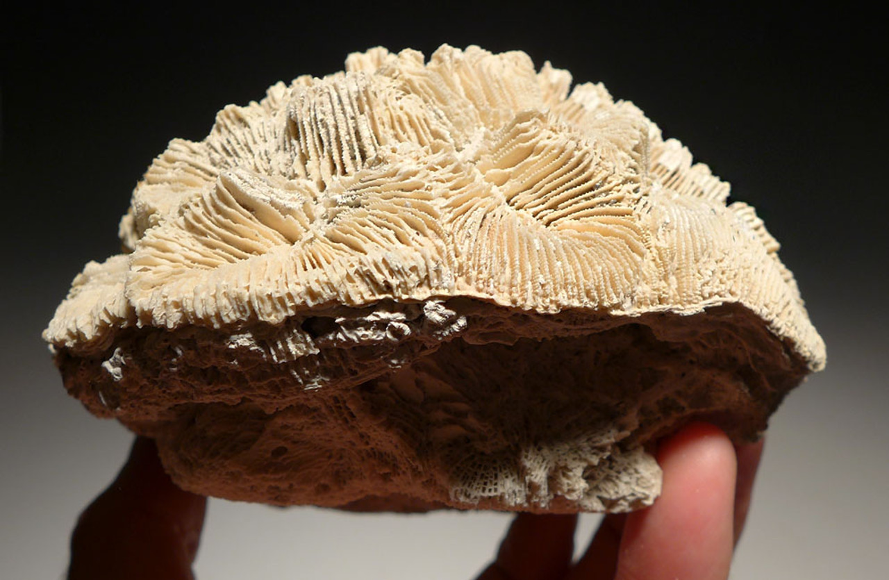 LARGE PREHISTORIC BRAIN-LIKE CORAL FOSSIL COLONY FROM THE PLIOCENE *COR124