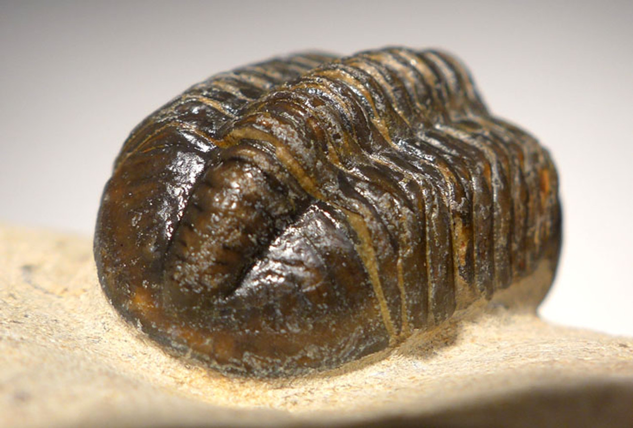 SMALL EYE VARIANT REEDOPS TRILOBITE *TRX447