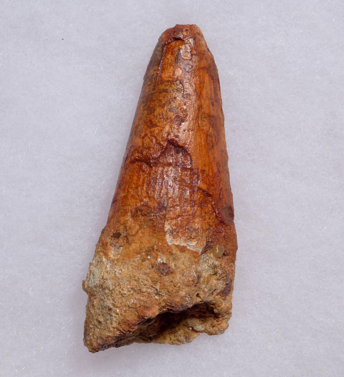 ROBUST UNBROKEN FOSSIL DINOSAUR SPINOSAURUS 3 INCH TOOTH *DT5-488