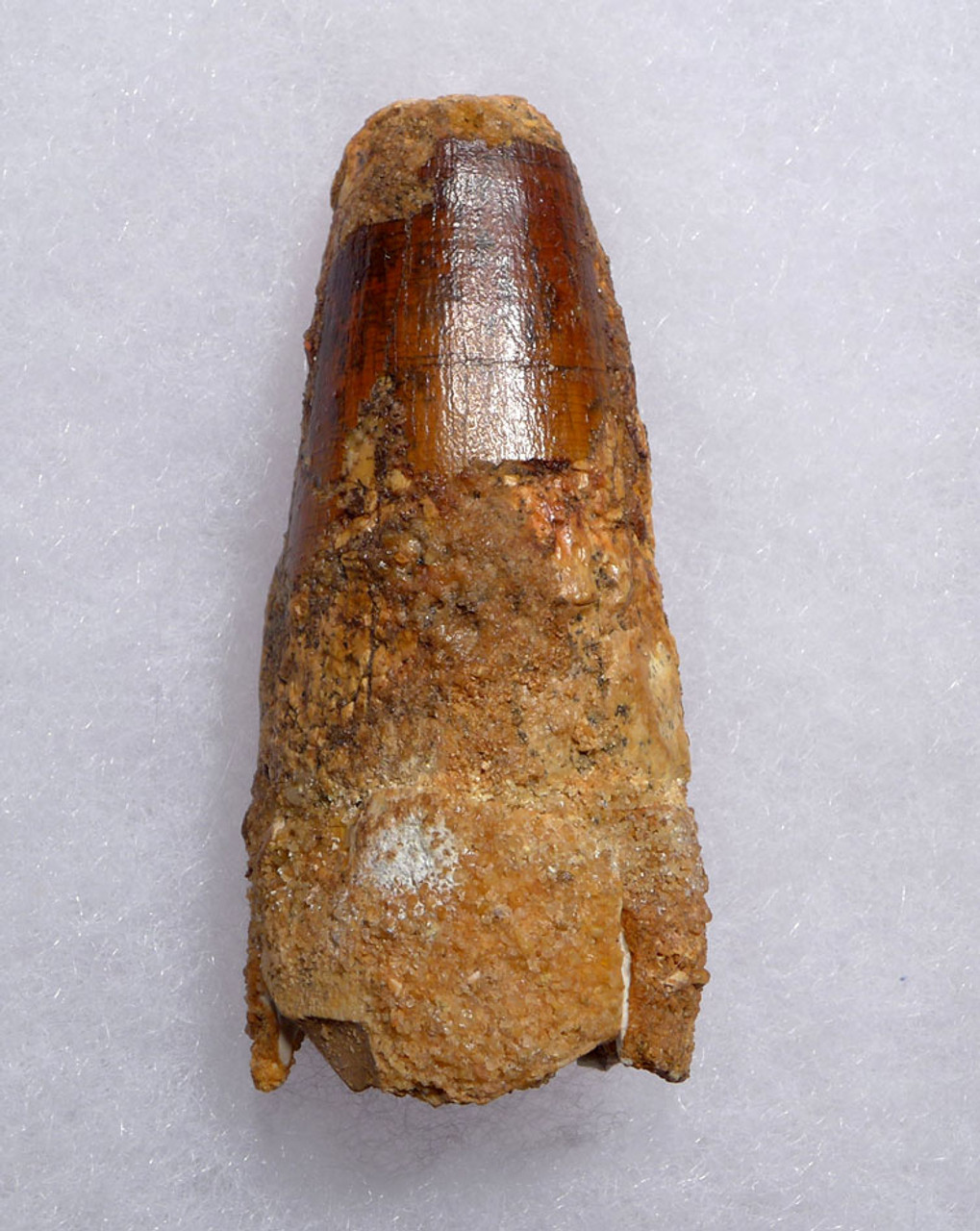 INEXPENSIVE ROBUST 2.25 INCH SPINOSAURUS DINOSAUR FOSSIL TOOTH *DT5-483