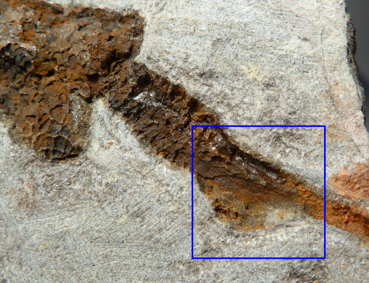 ORDOVICIAN CARPOID FOSSIL DENDROCYSTITES WITH DETAILED ANATOMY *CARP004