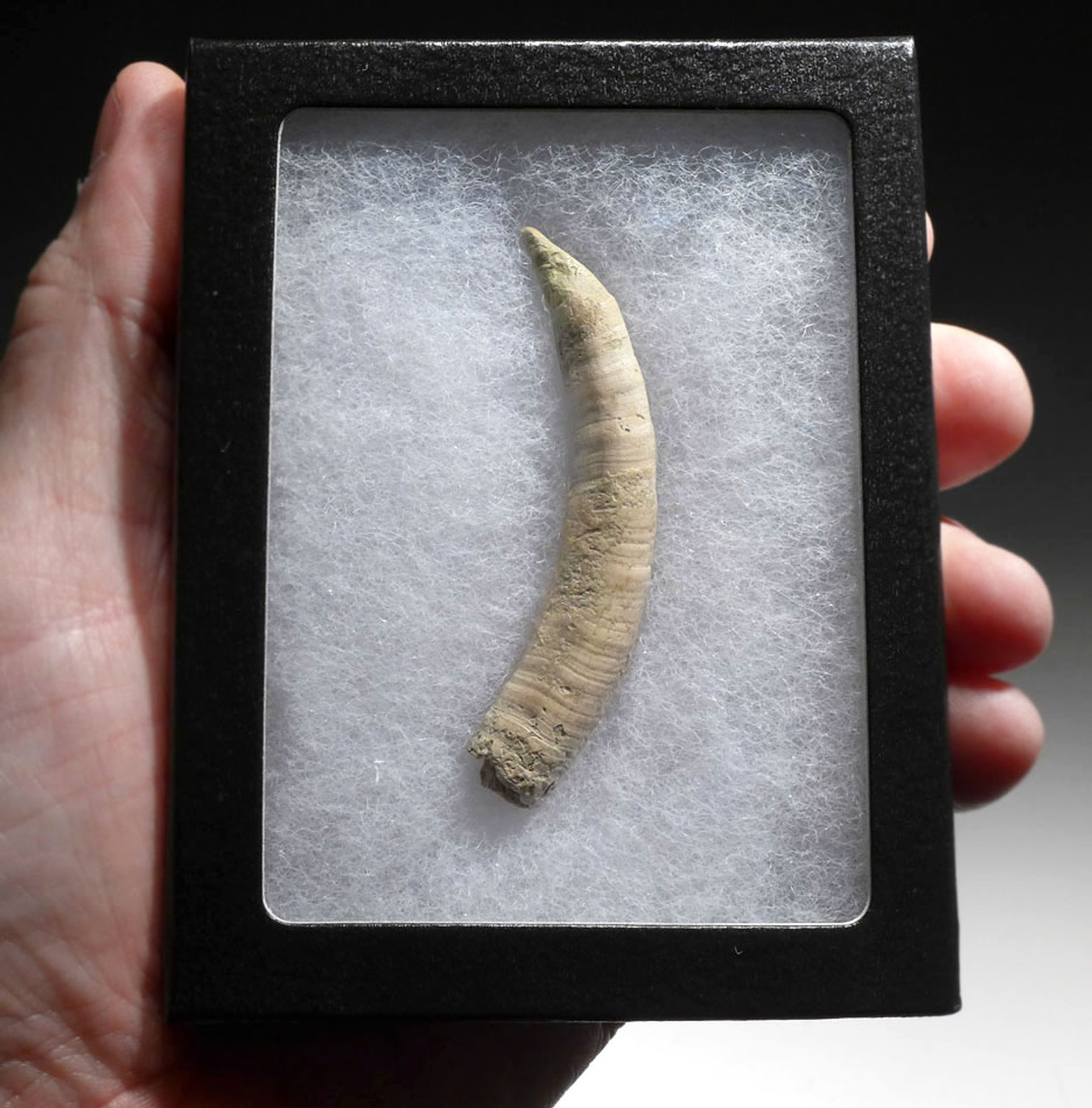 FOSSIL PYGMY DWARF SPERM WHALE TOOTH WITH SHARP TIP *WH047