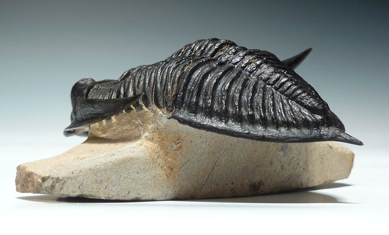TRX076 - GIANT 4.7 INCH FLOATING SPINY ZLICHOVASPIS TRILOBITE EXPERTLY PREPARED WITH FULLY EXPOSED BODY AND SPINES