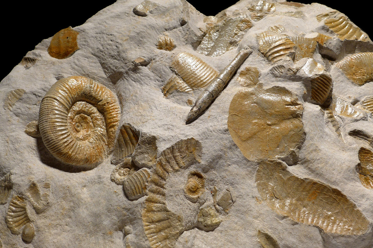 IMPRESSIVE LARGE MASS EXTINCTION JURASSIC SEA LIFE FOSSIL WITH AMMONITES AND BELEMNITES FROM GERMANY *AMX372