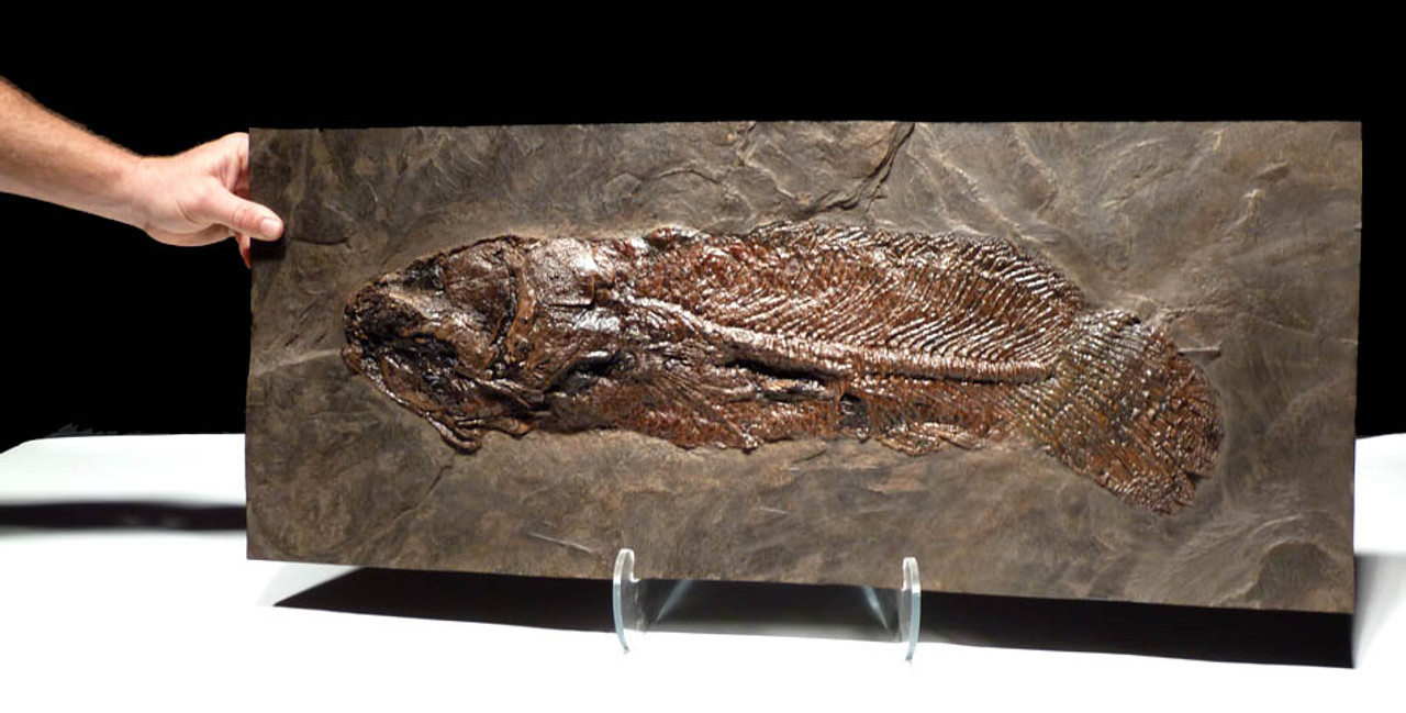 RECORD SIZE FINEST EOCENE CYCLURUS FISH FOSSIL FROM THE FAMOUS MESSEL PIT *F086